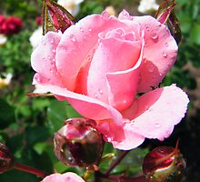 Rainy pink rose by costy33