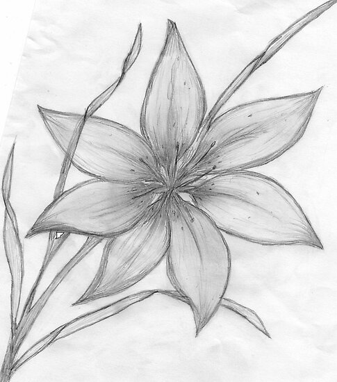Lily Pencil Drawing  by MaeBelleLily Flower Drawings In Pencil
