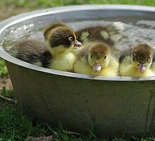 Taking a bath - musk ducklings # 2 by Paola Svensson