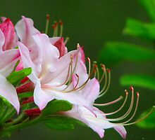~Wild Pink Azalea~ by NatureGreeting Cards ©ccwri