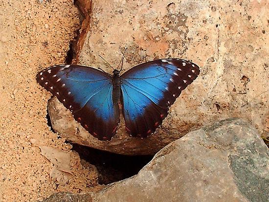 Blue Morpho  by ienemien