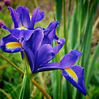 BLUE IRIS  (iris germanica) by Johan  Nijenhuis