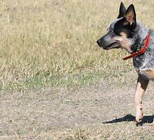 Blue Steele Blue Heeler by bero84