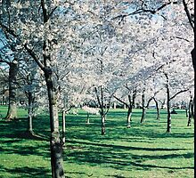 Cherry Trees photo by schiabor