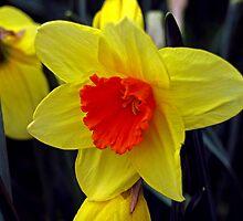 Sad Daffodil by Jayne Tucker