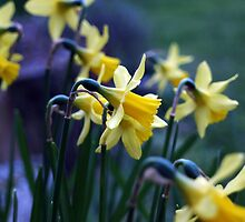Daffodil Siblings by Jayne Tucker