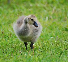 Gosling by Lynda   McDonald