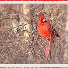 Red Cardinal by tawaslake