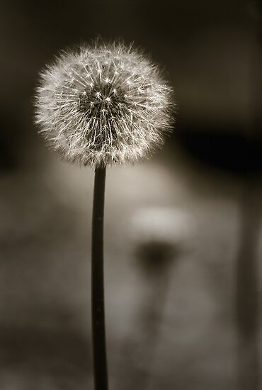 Dandelion  by Christine  Wilson Photography