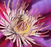 Clematis by PamelaJoPhoto