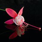Fuchsia XVIII by Tom Newman