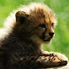 Cheetah cub by Alan Mattison IPA