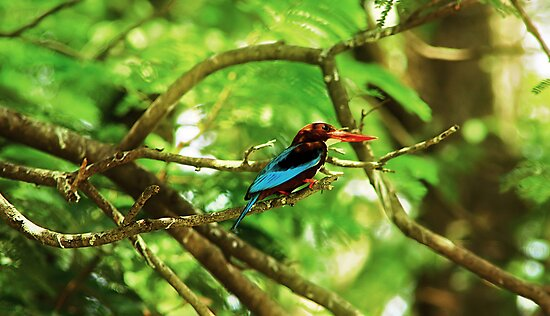 White throated Kingfisher #1 by Prasad