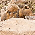 Rock 'em Sock 'em Marmots by Jay Ryser