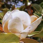 Magnolia Grandiflora in all it's glory by Trish Peach
