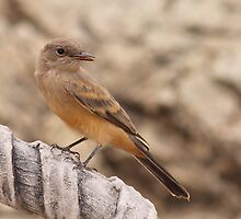 Flycatcher by tomryan