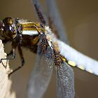 Broad-bodied Chaser (Libellula depressa) by Steve Chilton