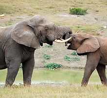 Bull Elephants by Kimberley Mazzoni
