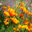 Poppies swaying in the Breeze by aussiedi