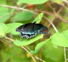 Black Beauty (technical name-Red-spotted Purple Butterfly) by foxyphotography