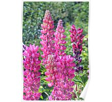 Pretty Pink Lupins Poster