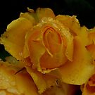 yellow rose  by lettie1957