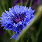 Blue corn flower  by Daniii