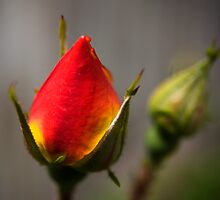 Rosebud by Geoff Carpenter