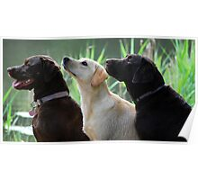 Three labradors Poster