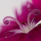 Dianthus (stamen) by Larry Trupp
