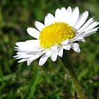 daisy by millymuso