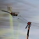 Dragonfly Dreams by David Friederich