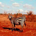 Zebra, safari in Kenya by Elana Bailey