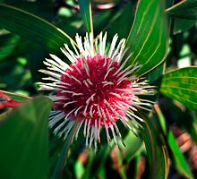 Pin Cushion Hakea by haymelter