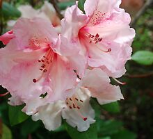 Blushing Pink Rhodo... by Carol Clifford