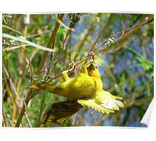 African Weaver Bird Poster