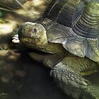 Yellow-Footed Tortoise by Christopher Johnson
