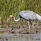 Sarus Crane (Female) by Robert Elliott