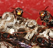 Social Wasps by Paul Duckett