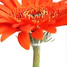 Orange Gerbera by Cristina Rossi