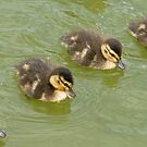 The World Famous Baby Duck Display Team by Mark Chapman
