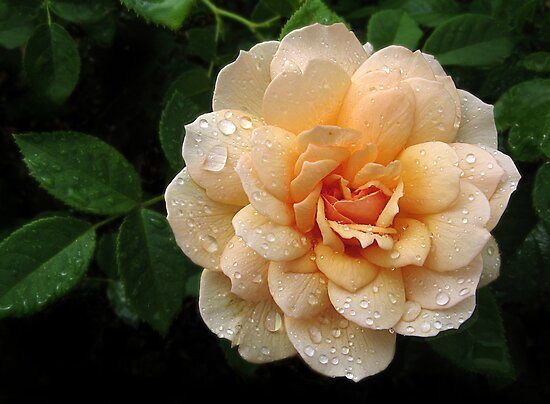 Rose Rain by Jessica Jenney