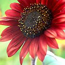 Red SunFlower by cshphotos
