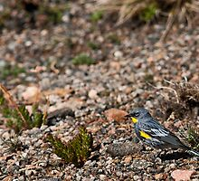 Yellow Rumped Warbler by Jay Ryser