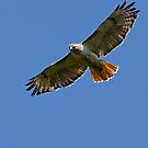 Hunting Red Tailed Hawk by lloydsjourney