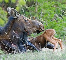 Moose Cow, Days Old Calf Nudging to Nurse by A.M. Ruttle