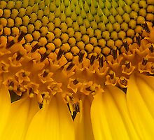 Sunflower Macro by Mukesh Srivastava