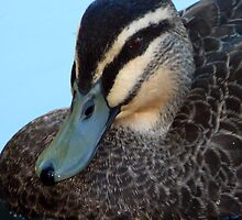 Pacific Black Duck by stevealder