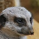 The Face Of A Meerkat by VanillaDolphin