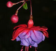 Ever So Pretty - Fuscia by Lynda   McDonald